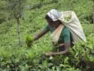 Les plantations de thé au Sri Lanka